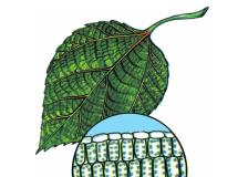 Bài 7 Cấu tạo tế bào thực vật (Bài 1,2,3 trang 25 môn sinh 6)