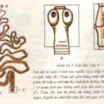 Bài 12 sinh 7 trang 46: Một số giun dẹp khác và đặc điểm chung của ngành giun dẹp