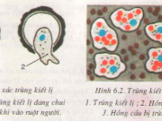 Giải bài 1,2,3 trang 25 Sinh 7:  Trùng kiết lị và trùng sốt rét