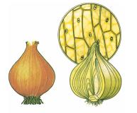 Bài 6 Quan sát tế bào thực vật (Giải bài 1,2 trang 22 Sinh 6 )