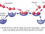 Giải bài 1,2,3,4 trang 59 SGK Sinh 10: Enzim và vai trò của enzim trong quá trình chuyển hóa vật chất