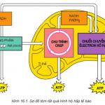Giải bài 1,2,3 trang 66 SGK Sinh 10 : Hô hấp tế bào