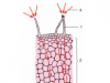 Bài 11 Sự hút nước và muối khoáng của rễ (tiếp theo) trang 39 môn sinh 6