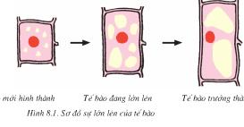 Bài 8 Sự lớn lên và phân chia của tế bào (Bài 1,2 trang 28 Sinh 6)