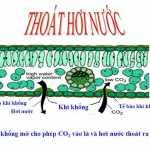 Thoát hơi nước: Bài tập 1,2,3,4 Sinh học 11 trang 19