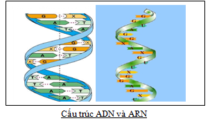 CAU TRUC ADN VA ARN