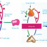 Giải bài 1,2 trang 186 SGK Sinh 8: Sự điều hòa và phối hợp hoạt động của các tuyến nội tiết