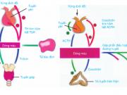 Bài 59 Sinh 8: Sự điều hòa và phối hợp hoạt động của các tuyến nội tiết