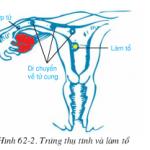 Bài 62 trang 195: Thụ tinh, thụ thai và phát triển của thai Sinh học 8