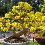 Giới thiệu về một loài hoa: hoa mai