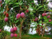 Đề thi học kì 2 môn Tiếng Việt 4: Vì sao cây xoài nhà bạn nhỏ trong câu chuyện lại nghiêng sang vườn nhà hàng xóm?