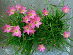 Kiểm tra học kì 2 Tiếng Việt lớp 4: Hoa tóc tiên ở vườn nhà thầy giáo có màu gì ?