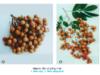 Bài 8. Kỹ thuật trồng cây nhãn – Công nghệ lớp 9: Em hãy nêu các yêu cầy kỹ thuật trong việc gieo trồng chăm sóc cây nhãn ?