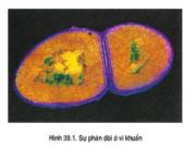 Bài 1, 2, 3, 4 trang 133 Sinh lớp 10 Nâng cao – Quá trình nảy chồi ở nấm men diễn ra như thế nào ?