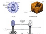 Bài 1, 2, 3, 4 trang 146 Sinh lớp 10 Nâng cao – Trình bày khái niệm và cấu trúc của virut.
