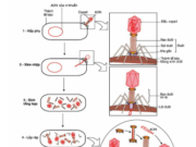 Bài 1, 2, 3, 4, 5, 6 trang 151 SGK Sinh học 10 Nâng cao – Trình bày các khái niệm : virut ôn hoà, virut độc và tế bào tiềm tan. Mối quan hệ giữa chúng.