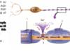 Bài 1, 2, 3 trang 112 SGK Sinh học 11 Nâng cao – Sự truyền xung thần kinh trên sợi thần kinh có bao miêlin khác với không có bao miêlin như thế nào?