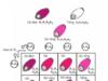Bài 1, 2, 3, 4, 5, 6 trang 53 Sinh lớp 12 Nâng cao – Thế nào là tính đa hiệu của gen? Nêu cơ sở di truyền của biến dị tương quan.