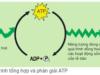 Đề kiểm tra 45 phút Phần 2 Chương 3 – Chuyển hóa vật chất và năng lượng trong tế bào Sinh lớp 10: Quá trình quang hợp ở thực vật trải qua mấy pha?