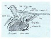 Bài 1, 2, 3, 4 5, 6 trang 91 SBT Sinh 7: Lập bảng nêu các đặc điểm cấu tạo ngoài của chim bổ câu thích nghi với đời sống bay lượn.