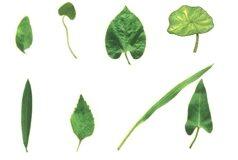 Bài tập trắc nghiệm trang 38 SBT Sinh 6: Nhóm cây nào sau đây gồm toàn những cây có lá đơn ?