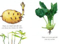 Bài tập trắc nghiệm trang 31 Sách BT Sinh 6: Nhóm cây nào sau đây gồm toàn những cây có thân mọng nước ?