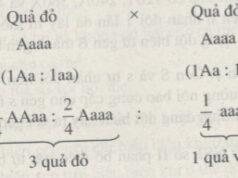 Bài 1, 2, 3, 4, 5 trang 49 SBT Sinh 9: Chiều dài của gen B là 4080 Ả. Khi sự nhân đôi liên tiếp 2 lần từ gen B đã tạo ra gen b có 2402 nuclêôtit. Xác định dạng đột biến từ gen B thành gen b