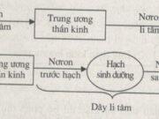 Bài 1, 2, 3, 4 trang 104 SBT Sinh 8: Tính chất của tế bào nón có gì khác so với tế bào que ?