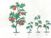 Bài 59. Nhu cầu chất khoáng của thực vật – Khoa học 4: Cây a phát triển tốt nhất, cây cao, lá xanh, nhiều quả, quả to và mọng vì vậy cây được bón đủ chất khoáng